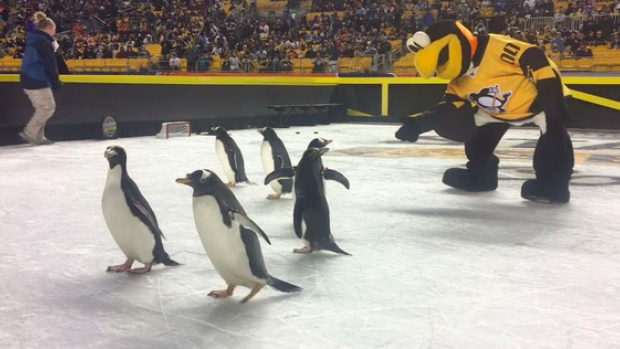 The Penguins Mascot Getting Friendly With Real Is Too Cute